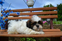 Zach Male Shihtzu $650