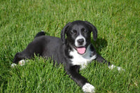 Justin Male Beagle Mix $299