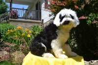 Glory Female Sheepadoodle $999