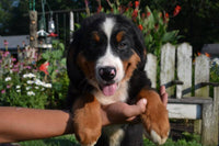 Ronny Male Bernese Mountain Dog AKC $700