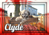 Clyde Male Shihpoo $850