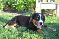 Roby Male Bernese Mountain Dog AKC $500