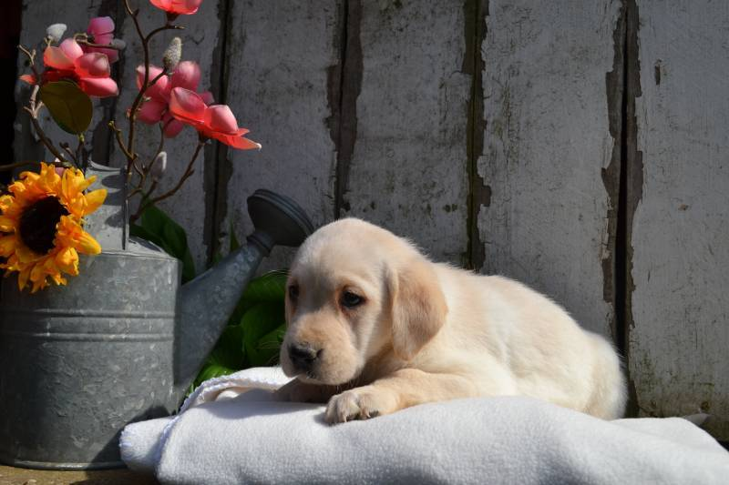Kathy Female Labrador Retriever $399