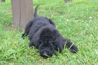 Labradoodle a hybrid designer dog crossed between a Poodle and a Labrador Retriever.