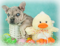 Scooby Male French Bulldog $2500