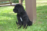 Black Labradoodles for sale in Ohio