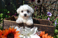 Batman Male Bichon Frise $475