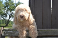 Labradoodles for sale in Ohio