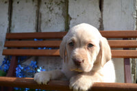 Rover Male Labrador Retriever $399