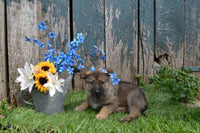 Marlin Male German Shepherd $499