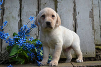 Ruger Male Labrador Retriever $399