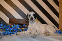 Teddy Male Dalmatian Mix $150