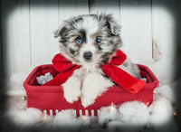 Dasher Male Aussie Mini (Full Price $1000.00) Deposit