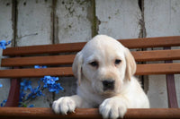 Roger Male Labrador Retriever $399