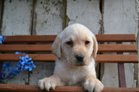 Riley Male Labrador Retriever $399