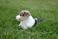 Brooklyn Female ACA Pembroke Welsh Corgi $2100