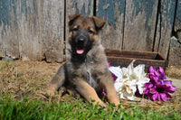 Kiara Female AKC German Shepherd $550