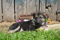 Lillyan Female AKC German Shepherd $450
