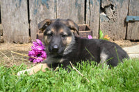 Lillyan Female AKC German Shepherd $550