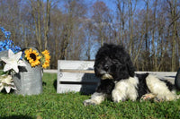 Nash Male Newfypoo $299