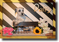 Daisy Female Dalmatian Mix $450