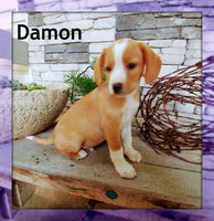Damon: Male Cavalier Mix (Full Price $500.00) Deposit