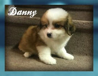 Donny: Male Poochon  (Full Price $750.00) Deposit