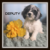 Cockapoo puppies for sale near me