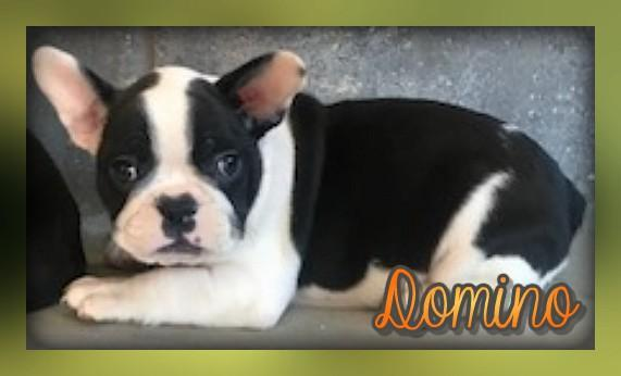 Domino: Male Frenchton (Full Price $1600.00) Deposit - Pups for sale in Ohio