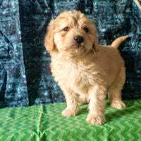 Duke Male Mini Goldendoodle $1100