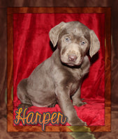 Harper Male Labrador Retriever $599