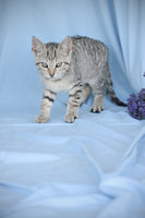 Mist Female Short Hair Kitten $150