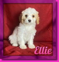 Ellie Female Cavachon $900