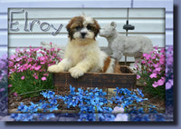 Elroy Male Shih-Chon Teddy Bear $599