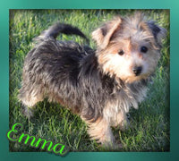 Emma: Female Yorkie-Chon (Full Price $900) Deposit