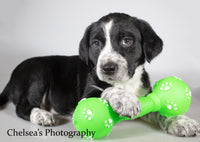 Winchester Male English Springer Spaniel Heeler Mix $400