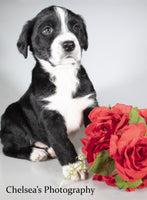Chico Male English Springer Spaniel Heeler Mix $600