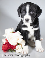 Macho Male English Springer Spaniel Heeler Mix $600
