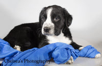 Spotty Male English Springer Spaniel Heeler Mix $600