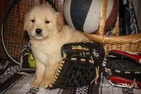 Ernie: Male AKC  Golden Retriever (Full Price $650.00) Deposit