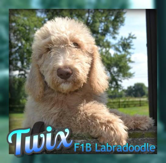 Labradoodles F1b for sale
