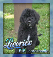 Licorice : Male F1B Labradoodle (Full Price $750) Deposit