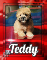 Teddy Male Pomeranian Shih Tzu Mix $550