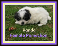 Panda Female Pomachon $875