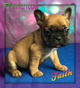 female frenchton puppy