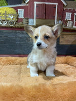 Belle Female Pembroke Welsh Corgi $1400