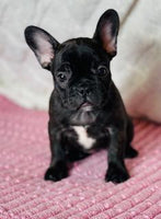 Rosie Female Frenchton $2000