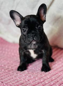 female frenchton