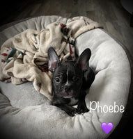 Phoebe Female Frenchton $2200