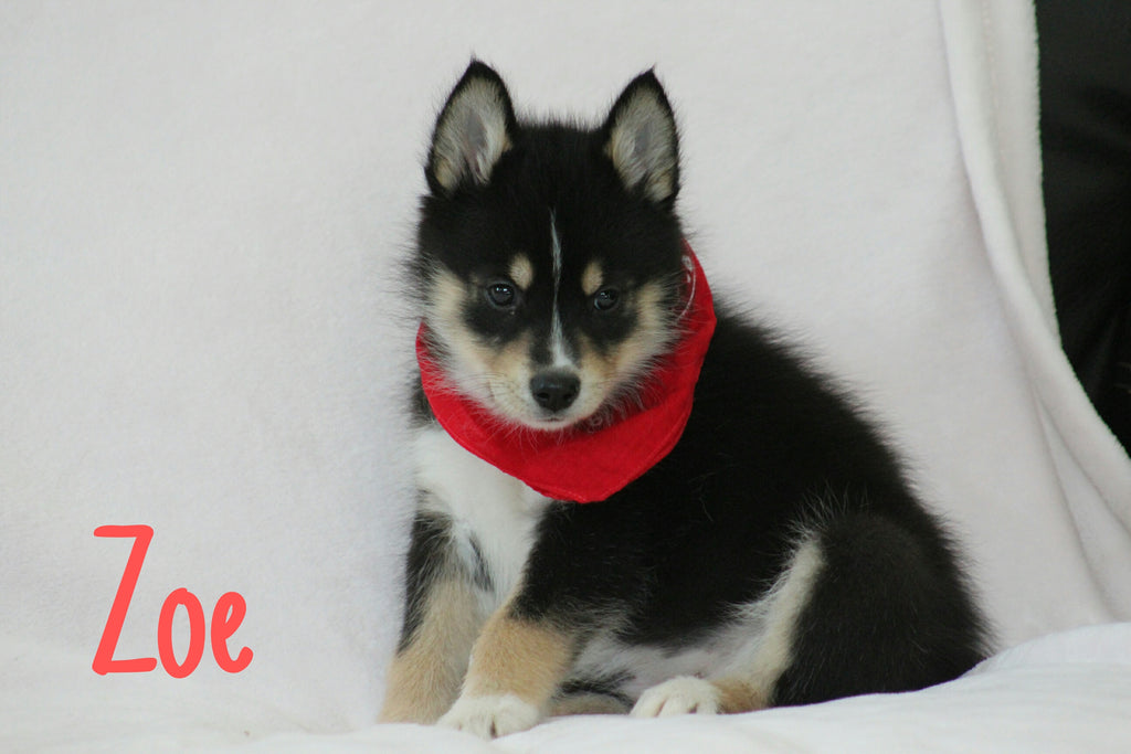 Female Mini Pomsky